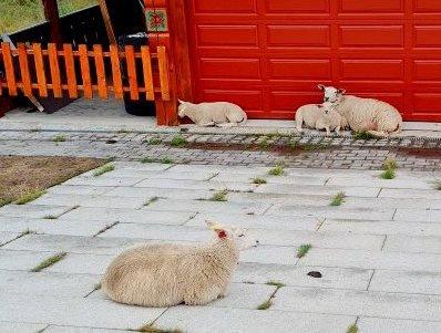 Beitedyr i hytteområder. Hvordan hindre nye konflikter?