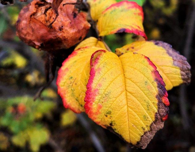 Høst i Færder. Nyperoseblader ved Hellastranda.