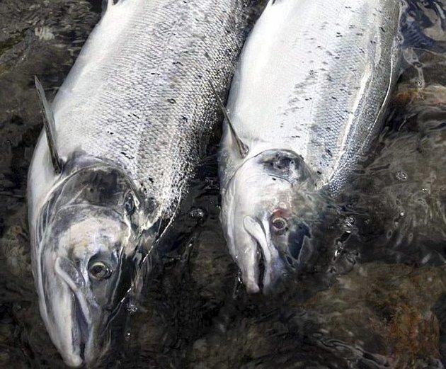 LAKSEN: Krangelen om hvem som skal begrense laksefisket i Tanavassdraget har pågått i mange tiår. Kanskje trenger tanalaksen en type ála Oddrunn Pettersen?