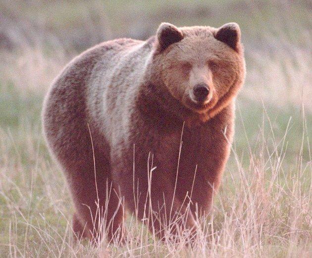 Sauebønder frykter at det går mot en rovdyrsommer i Norge. Frykten er at bjørn og andre rovdyr skal angripe enda flere beitedyr enn tidligere år. (Foto: Bjørn Lindahl, AP/NTB Pluss)  PHRASEA