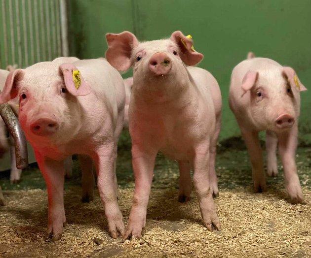 BEDRE DYREVELFERD: Svinenæringa har endringer for å bedre dyreveldferden, skriver kronikkforfatterne Marit Andrisdotter Kvam, Steffen Fjellestad, Bergljot Oldre og Henniung Røyneberg.