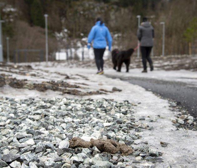 Det har dukket opp svært mye hundedritt etter at snøen forsvant. Det er på tide å ta affære i forhold til hundeeiere som ikke bruker hodet og fjerner dritten etter seg og sin. Hunden på bildet har en eier som gjør sin plikt og plukker opp. Arkivfoto: Anders Kjølen