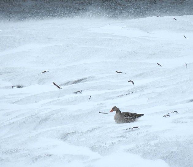 Lørdag 28. mars var det tre par med grågås ved Tind i Moskenes. Om de var fornøyd med været vites ikke. Et fint vårtegn er grågåsa uansett.