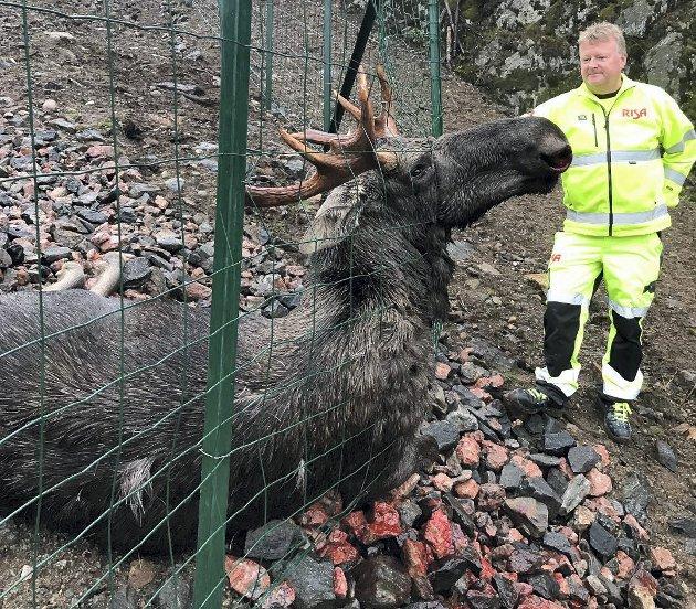Elg på motorveien: Ny E18 må etter Erling Lilleholts mening stenges til det er dokumentert at viltpassasjene fungerer. Ill.foto
