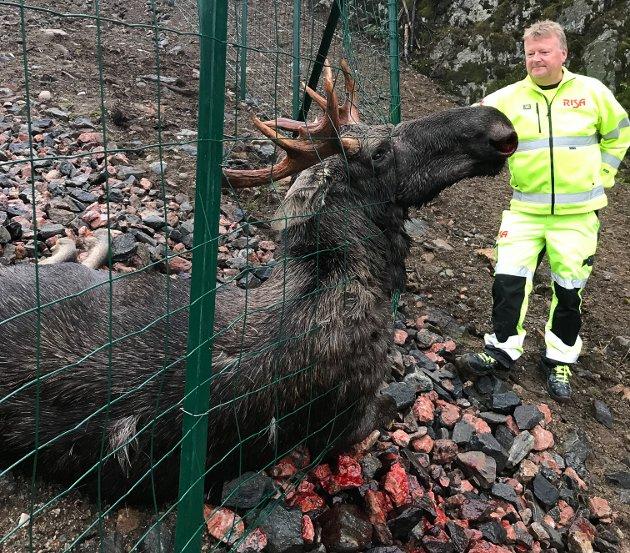Til sammen fem elg har måttet bøte med livet etter at ny E18 åpnet. Det er det er ikke lenge siden denne oksen ble tatt livet av på Kvastad. Den måtte klippes ut av gjerdet for å få den ut.
