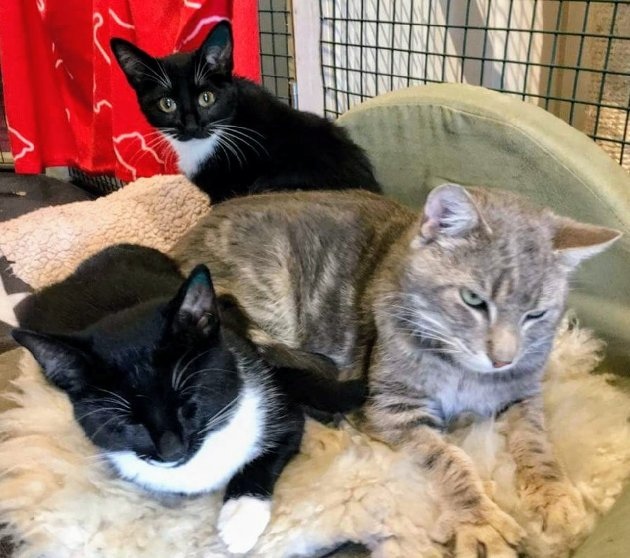 Didrik (grå) med Nala (bak og Ninja (foran). Disse kattene trenger nye hjem.