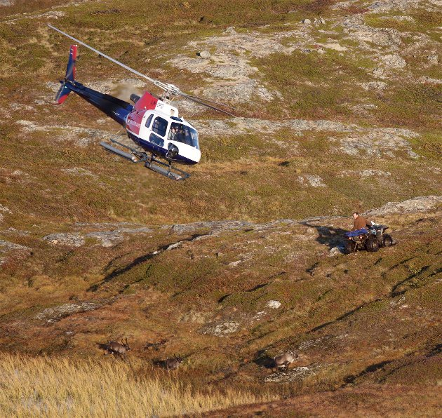 Helikopter og terreengkjøretøyer ble tatt i bruk for å samle dyrene
