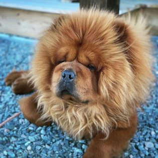 Kimba, Chow chow- En lurvetass på 3 år
