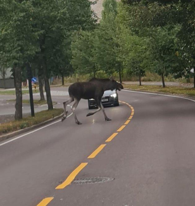 PASS OPP: Plutselig løp elgen rett ut i veien.