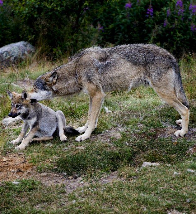 Telletull: Morten Ørsal  Johansen (Frp) er kritisk til hvordan bestandsregistreringen av ulv foregår.Illustrasjonsfoto