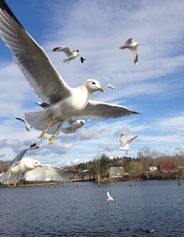 Måke. Foto: Anita Dahl