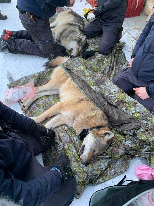 PÅ FLYTTEFOT: Dette ulveparet ble bedøvet og fraktet til sitt nye hjemsted i Østfold natt til mandag 4. januar.