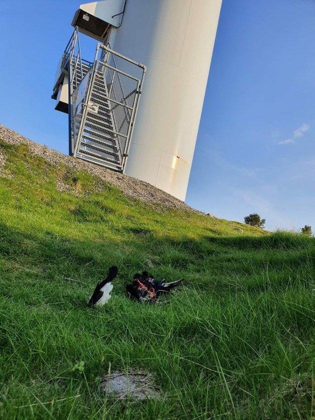 Fotoet viser en orrhane delt i to, Midtfjellet vindpark på Fitjar, bygget av Zephyr.
