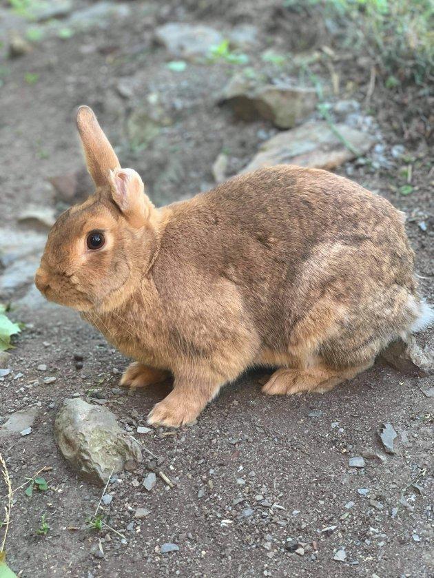 Tidligere hjemløs kanin i sin flotte utegård i nytt hjem