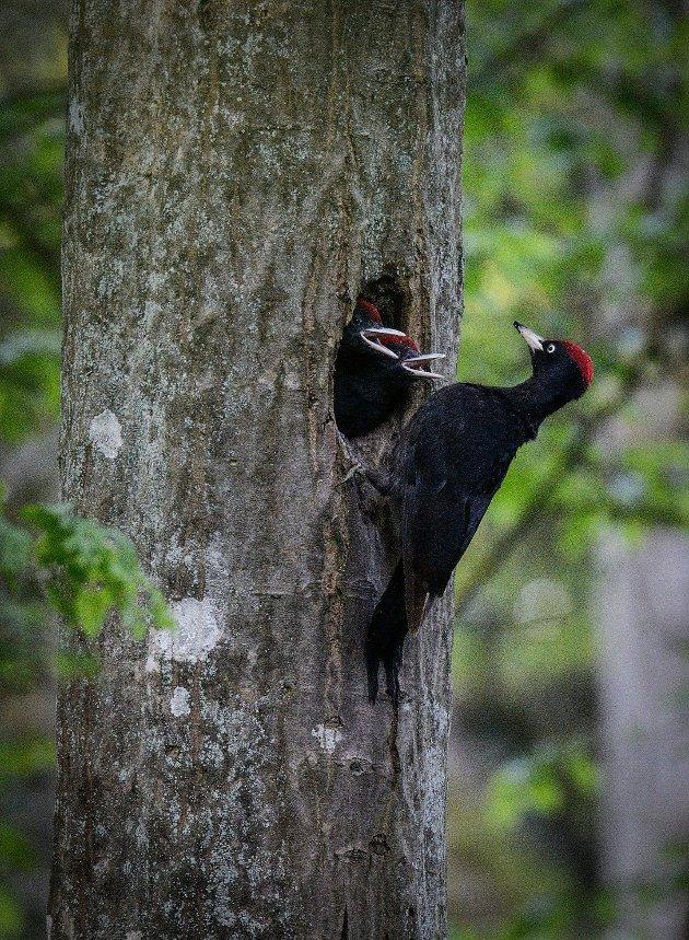 HAKKESPETT: Ikke glem kikkerten ved et besøk til Bialowieza nasjonalpark. Skogene tjener som fristed for en enorm variasjon av fugler.   FOTO:  / Mateusz Szymura  FOTO:  / Mateusz Szymura
