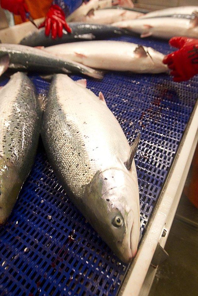 Pionérvirksomhet: Fredrikstad Seafoods er alene i Norge om å satse på lakseoppdrett på land. Arkivfoto: Terje Bendiksby, NTB Scanpix