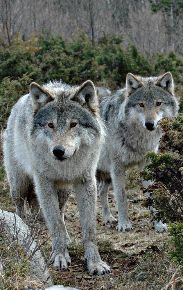 Ulvesoner: Regjeringen varsler ny forvaltning av ulv.