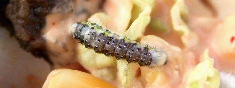 FEIL: Etter at dressingen har kommet på, er ikke salat lenger et naturlig sted for en larve.