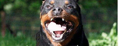 LØP LØS: Det blir slutt på friheten for hundeeieren på Algarheim etter at han blant annet lot en hund av denne rasen løpe fritt på skolens område.