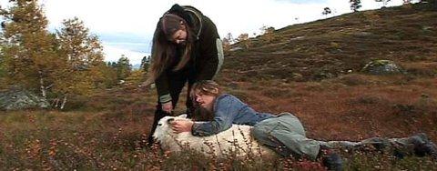 Ifølge Grutle Kjellson var det en annen sau som ble vist foran Stortinget enn den de var i kontakt med i fjellet i Hardanger.