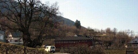 REKORDTRE. Brureika på Utne er det største treet i heile Noreg.