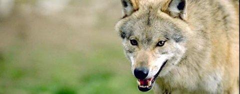 En av de to ulvene som var i ferd med å etablere revir i grensetraktene Nes, Eidskog og Aurskog-Høland er trolig avlivet illegalt, frykter både forskere og SNO.