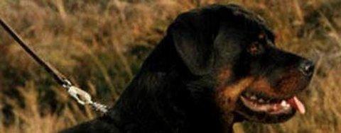 Rottweiler. (Illustrasjonsfoto)
