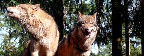 STATUS QUO: Flere nye ulvevalper har kommet til verden i Norge, men ikke i Østfold. ILLUSTRASJONSFOTO
