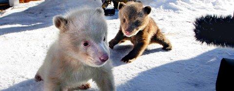 TVILLINGER: Polar Zooz nye yndlinger, Salt og Pepper, er tvillinger, selv om det ikke ser sånn ut. Foto: Stein Wilhelmsen