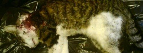 Flere katter skal være tatt av gaupe i Lebesby-området.