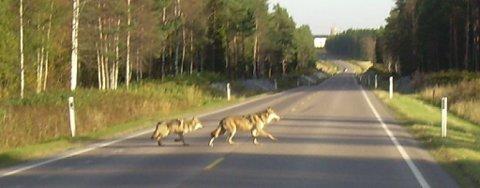 FRAM OG TILBAKE: En ulveflokk på fem eller seks ulv ble observert flere ganger da beveget seg i området rundt Aurskog golfpark fredag ettermiddag. Rovviltkontakt i Aurskog-Høland, Ole Kristian Sauge, sier det er et veldig spesielt syn å se så mange av dem samlet. FOTO: OLE KRISTIAN SAUGE.