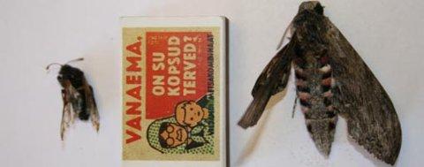 Til venstre ligger en hornveps. Selv om den er uvanlig er den naturlig her nord. Det er ikke vindelsvermeren til høyre på bildet.