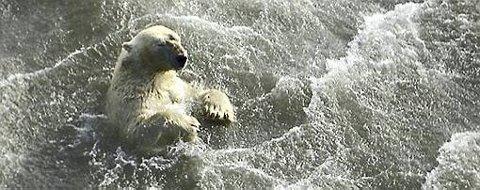 En isbjørn svømmer i det isfrie havet utenfor kysten av Alaska. Dette bildet gikk tidligere i vinter rundt som et symbol på konsekvensene av issmeltingen på Nordpolen.