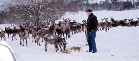 Ettersøksjeger Sverre Fatland opplever at mange av dyra i den store hjorteflokken i Todalen i Aure, har mistet sin naturlige skyhet og spiser rett foran tåspissen på ham. Foto: Gunn Fatland