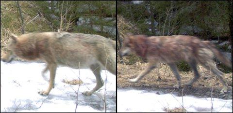 FØRSTE GANG: Dette er første gang de to Østmarka-ulvene er fotografert på samme sted til samme tid. Bildet er fra tidligere i år. FOTO: ROVDATA