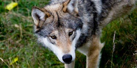 FORSATT PÅ FRIFOT: De tre ulvene det jaktes på i Gudbrandsdalen, er fortsatt ikke felt.