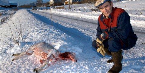Gardbruker Johannes Steig i Øverbygda i Sør-Fron fikk besøk av ulv bare få meter fra gardsbygningene mandag morges. Et lam ble så skadet at det måtte avlives.