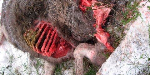Elgkalven er sannsynligvis drept av ulv.