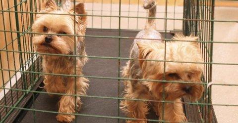 ASSISTERT MOSJON: Hundene har muligheten til å løpe på tredemølle. Her er Lasty og Jhonny i gang.