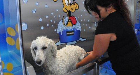 FØRSTE BAD: Puddelen Ayla var den aller første som fikk prøve seg i automatvasken på Sundjordet. Matmor Marion sørget for at alt gikk riktig for seg.
