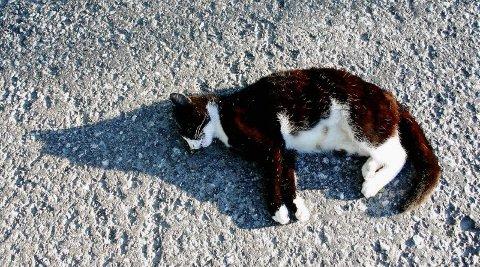 DØD: Denne katten måtte bøte med livet, men mange dyreliv kan reddes ved rask og riktig hjelp.  FOTO: HALLGEIR B. SKJELSTAD