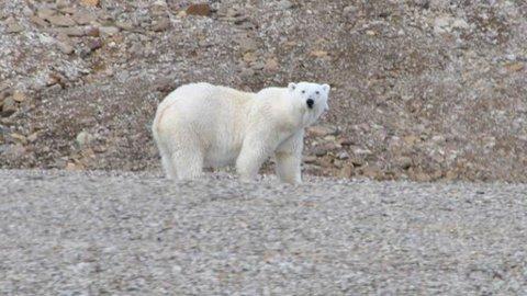 NYSGJERRIG: Her er en av flere isbjørner som lusket rundt i området.