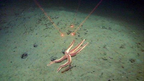 TRÅLSPORVEGG: En stor sjøstjerne (Urasterias linckii) klatrer opp en bratt vegg på et trålspor på bunnen. En av de mange dyphavsrekene står og veiver i strømmen på stjernens høyre side.   Begge foto: Mareano/Havforskningsinstituttet
