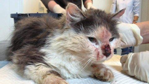 Skadd etter slåsskamp: Monsen Bajas ble hentet i Kjøpsvik hvor det florerer av hjemløse katter. Med så mange katter på et sted endte det opp i slåsskamp som gikk hardt utover Bajas.