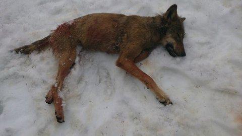 SKUTT MED RIFLE: Jegere felte den ene av to ulver som det er gitt fellingstillatelse til i Dovre og Vågå. Ulven kan være den som ble observert og som GD hadde bilde av lørdag. FOTO: STATENS NATUROPPSYN