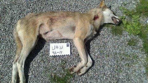 Denne ulven ble natt til mandag skutt i Stange, Hedmark.