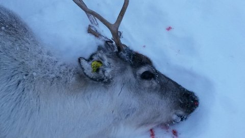 Dette dyret måtte avlivast etter skader frå ulven.