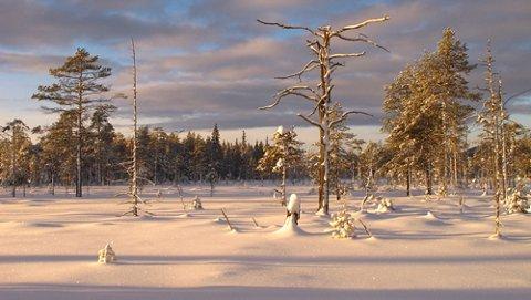 Tørrfuru ved siden av Inga-låmi løypa i vakkert januar lys.