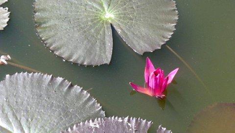 Enhver årstid har sin sjarm. Noen ser kanhende fram til vår og sommer. -Tjern og vann får nøkkeroser. Her er et bilde av Lotusblomst.( Nøkkerose).