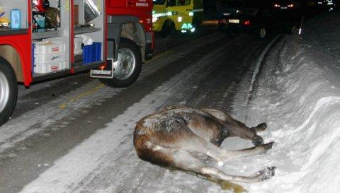 PÅKJØRT: Ifølge veivesenet koster en elgpåkjørsel samfunnet 200.000 kroner. Dermed har slike ulykker kostet over 220 millioner kroner i Akershus i perioden 2006 - 2010.  Foto: Hallgeir B. Skjelstad